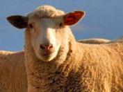 sheep99