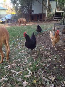 Back yard and chickens